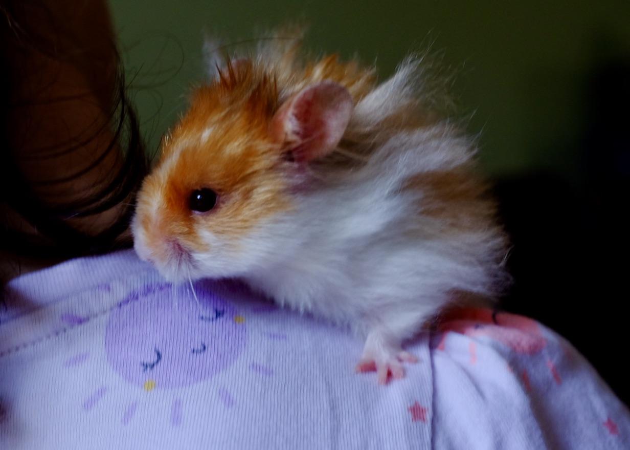 syrian hamster on a girl's shoulder